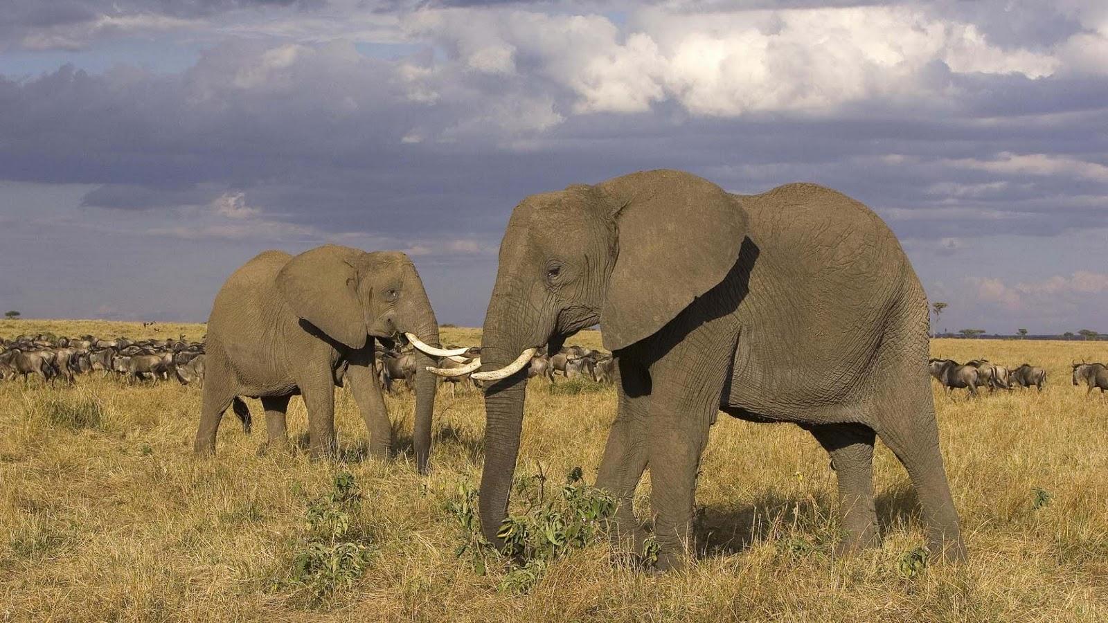 olifanten achtergronden bureaublad - photo #5