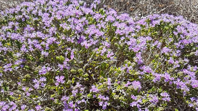 Το ελληνικό βότανο που προστατεύει από τον καρκίνο του παχέος εντέρου και την υπέρταση