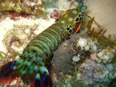 Life of Mantis Shrimp - Life of Sea