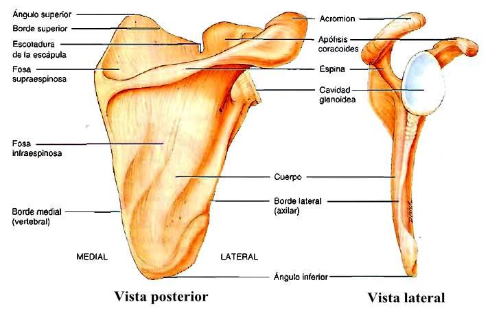 Esqueleto de la cintura escapular escápula