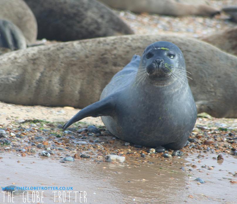 Seal watching at Blakeney Point Norfolk