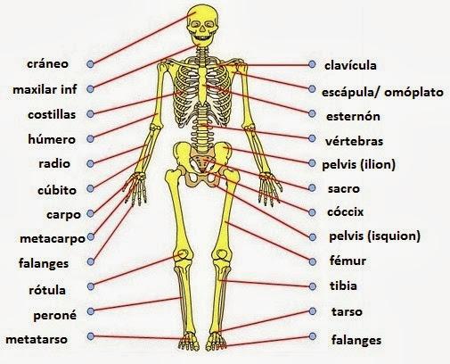 ANATOMIA HUMANA \