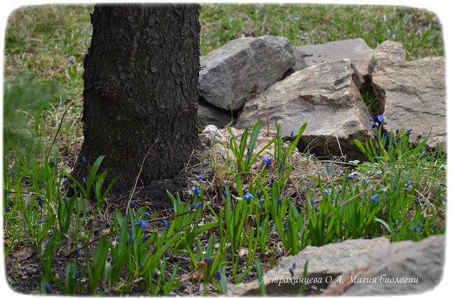 zagadki-pro-vesennie-cvety-podsnezhniki-proleska