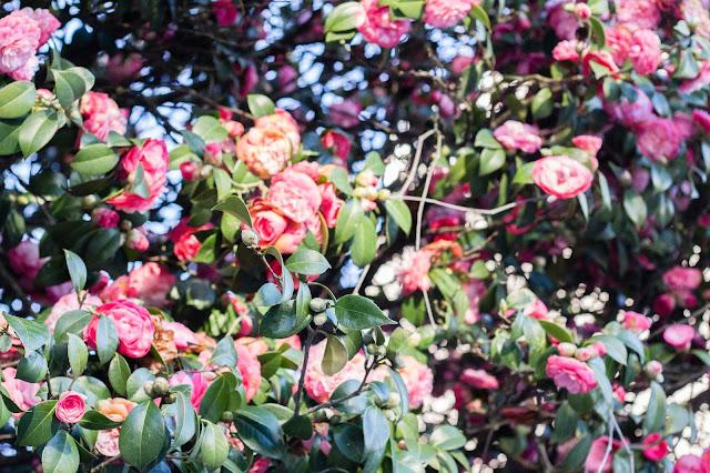 magnolias_redescubrir_la_belleza