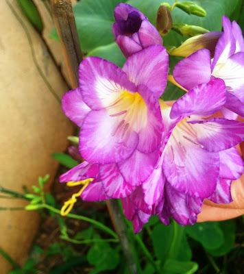 פרזיה בפריחה סגולה