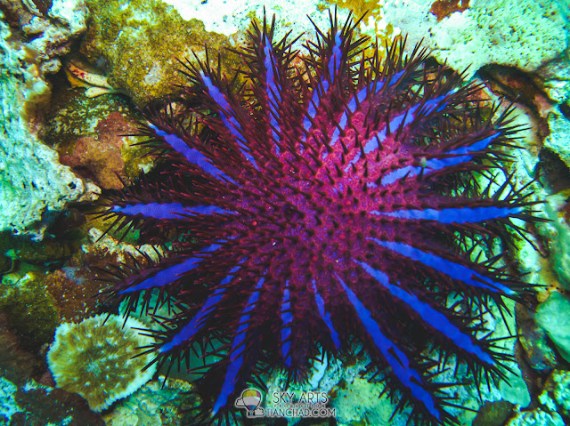 Blueish purple Crown-of-Thorn Starfish that will crumble into ball shape