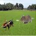 Fakta Unik Suara Jangkrik Pengusir Tikus Alami