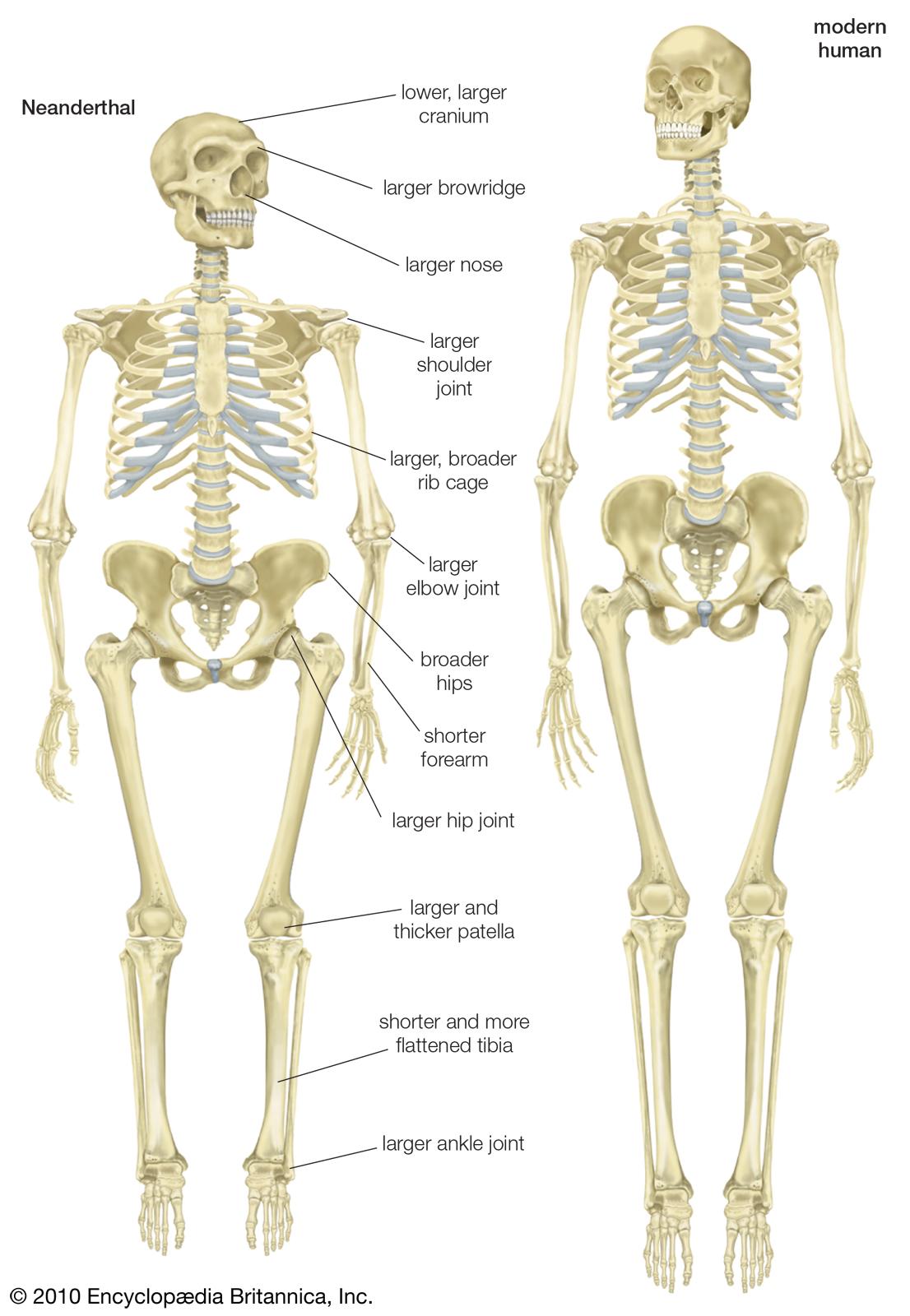 chimpanzee skull diagram axxess gmos 04 wiring histoire d 39espagne la prehistoria en península ibérica