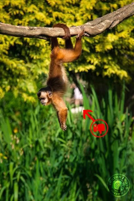 """Capuchin (or """"Sapajou""""), zoo Bourbansais © Clement Racineux / Tonton Photo"""
