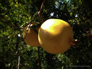 Deciduous Shrub Plant Pomegranate Or Punica Granatum Bearing Fruits
