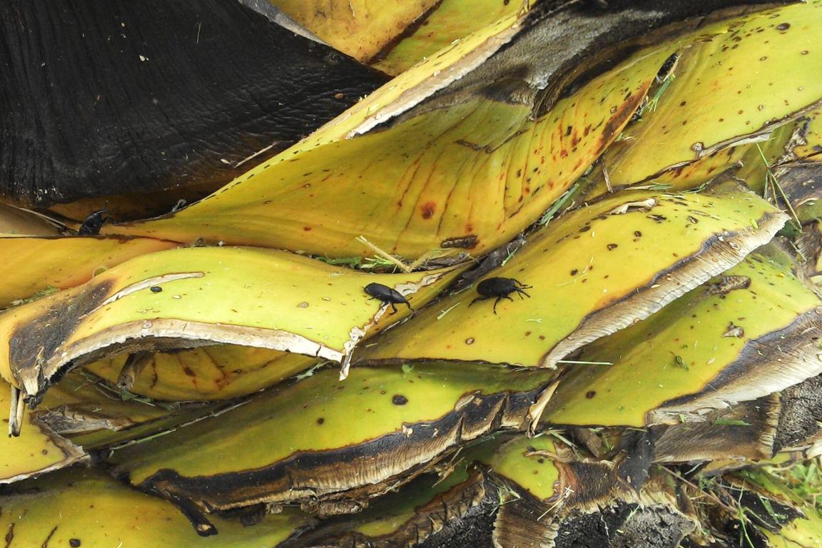 """Piña de un maguey Espadín (Agave angustifolia Haw.) maduro y plagado con el """"Picudo del maguey"""""""