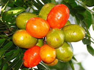 indian jujube (Zizyphus mauritiana Lam) pictures