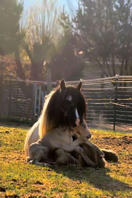 baby horse in mother's lap