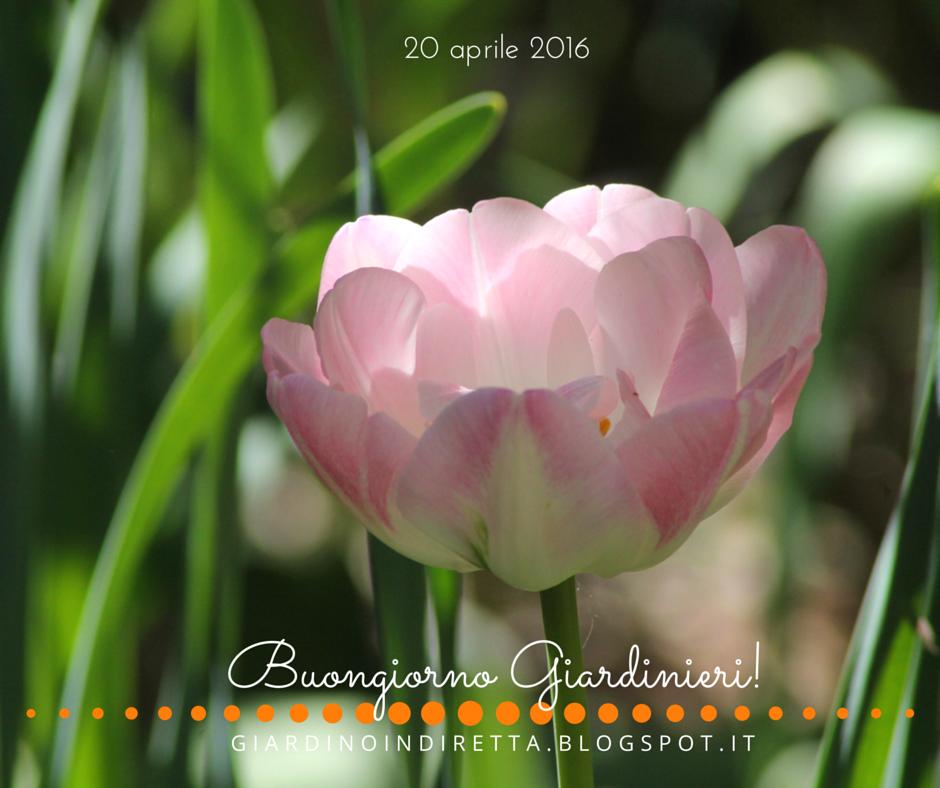 Fiori di aprile tulipano ang lique un giardino in diretta for Fiori in giardino