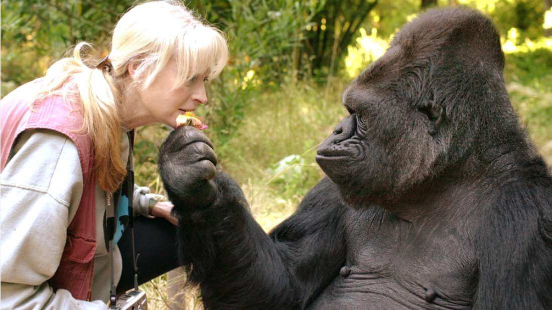 Koko the Gorilla, Well-Known for her Ability to Use Sign Language Has Died at the Age of 46