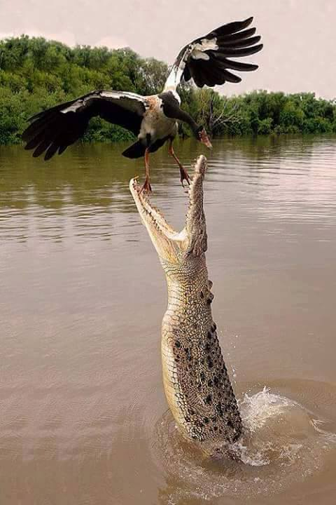 Wildlife Crocodile Catching Bird