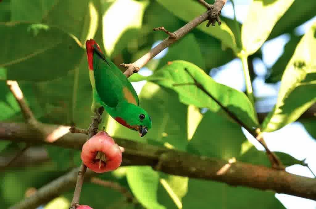 Perpaduan terbang sekawan anak jentayu singgah bermalam di balik pohonan rakyat malaysia teguh bersatu apa resipi menjadi adunan? Om Hoby: Cara Perawatan dan Makanan Pada Burung Serindit
