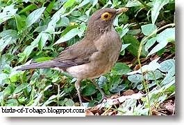 Bare-eyed Thrush (Turdus nudigenis) Thrushes (Turidae)