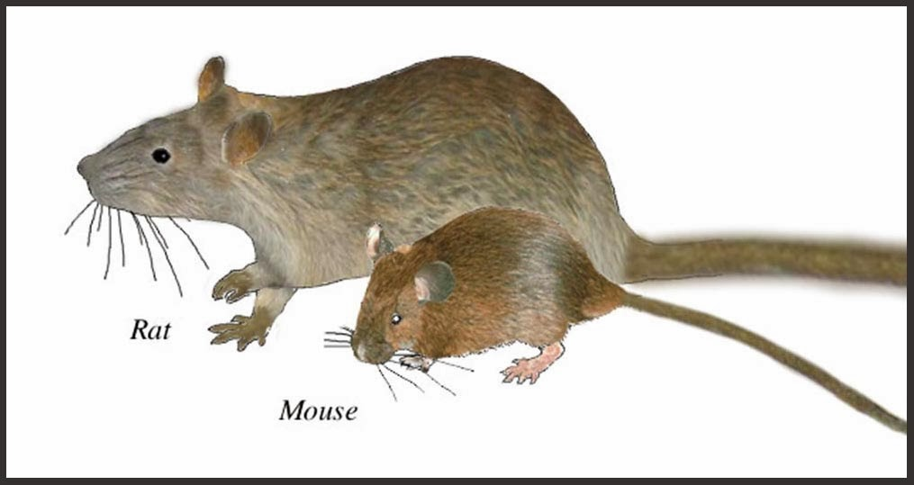 How to deal with rats and mice in your house  Discover