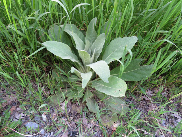 Wildflower Ontario Common Mullein