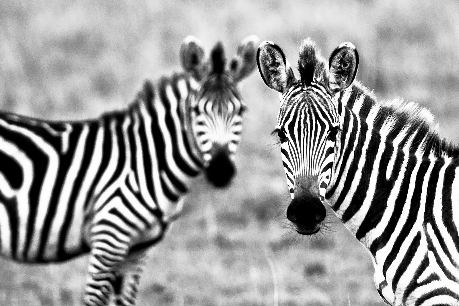 WildLife: Zebra Hd Wallpaper 2012