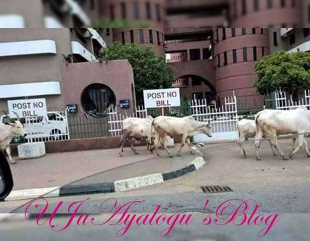 Cattle invade Fed Secretariat Abuja, people run helter-skelter