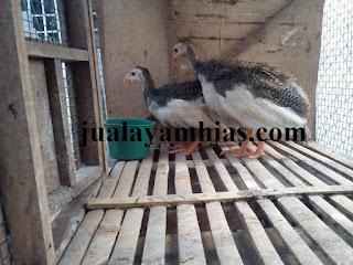 Ayam Mutiara Plangkok Usia 1 Bulan