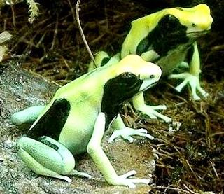 Foto de ranas descansando y de color verde