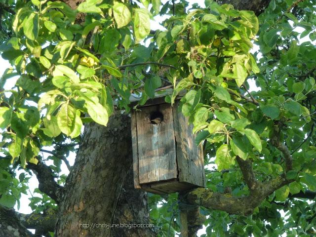 Apfelbaum - Vogelhäuschen mit Bewohner