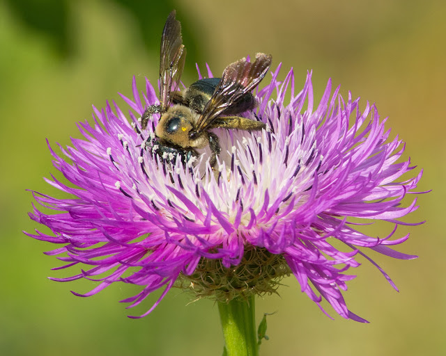 Bubmlebee on Thistle, Cross Timbers Trail