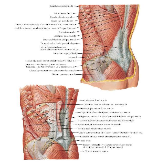 Posterolateral Abdominal Wall Anatomy