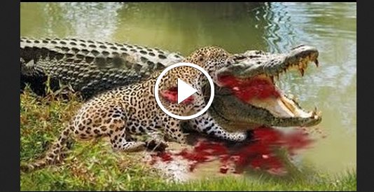 Jaguar vs Crocodile Real Fight With Tiger - Travel in the ... Lion Vs Elephant