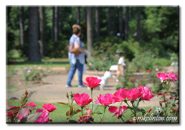 Rose with woman and two dogs blurred in background