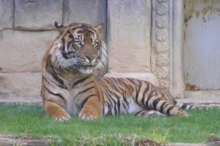 Tigre del biopark de Fuengirola.