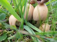 Les seuls champignons observés en montagne fin avril 2012