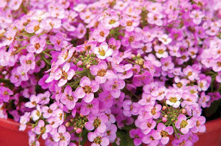 Alyssum Sweet flowers Suitable as Hanging Ornamental Plants