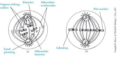 Metafase prometafase kromosom kromatid