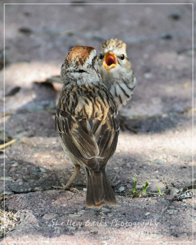 Adult and Juvenile Chipping Sparrow. Copyright © Shelley Banks, All Rights Reserved.