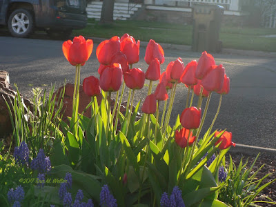 Red Tulips and blue grape hyacinths in nice morning light with car and garbage can. ©2017 Tina M. Welter