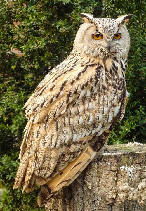 Indian birds - Image of Eurasian eagle-owl - Bubo bubo