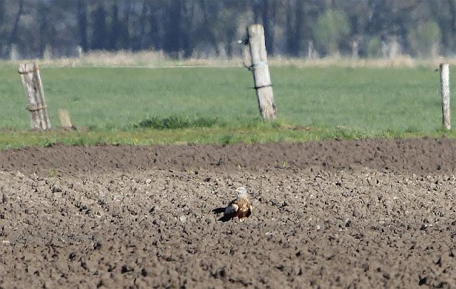 roter milan (Milvus milvus) belziger landschaftswiesen