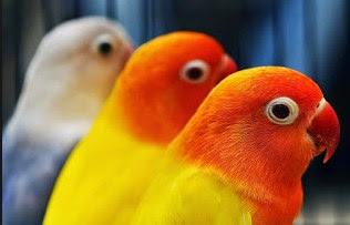 5 Cara Tepat Dan Akurat Mengatasi Burung Lovebird Ngantuk