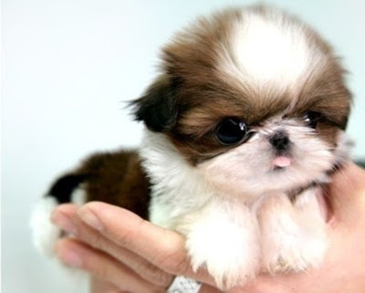 Bring on the Cute: The Fluff Has Arrived - Baby Shih Tzu Puppy