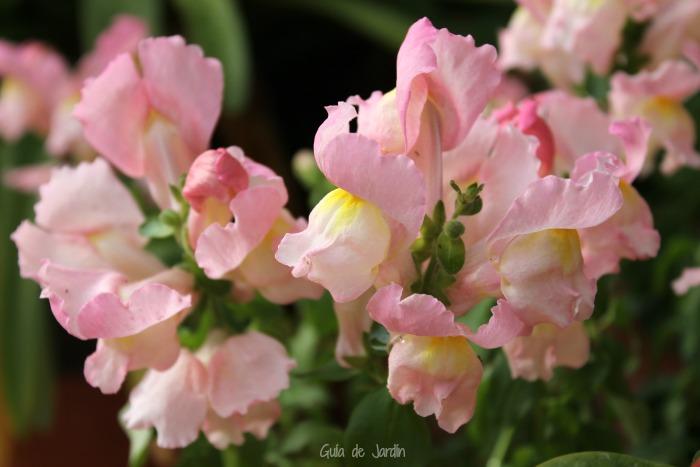 Anthirrinum rosa