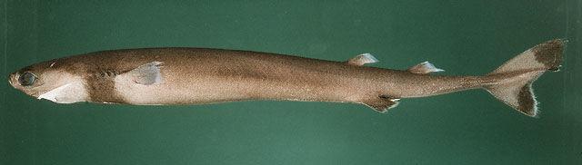 Real Monstrosities Cookiecutter Shark