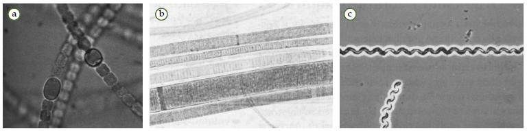 Contoh Cyanobacteria. (a) Anabaena, (b) scillatoria, dan (c) Spirulina