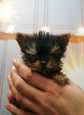 Polish Terrier Meysi is the Worlds Smallest Dog Damn