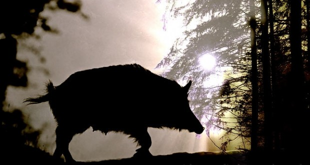 Θεσπρωτία: Απο σήμερα έπιασαν δράση οι Θεσπρωτοί  γουρουνοκυνηγοί!