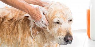 Bañar a su perro: ¿con qué frecuencia debe bañar a su perro?