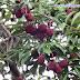 Tenggaring/Maritam (Nephelium ramboutan-ake Labill.)